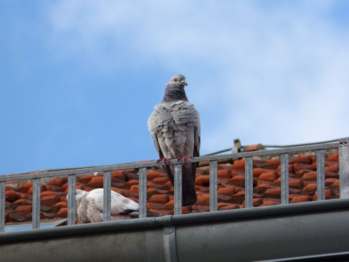 pigeon on roof
